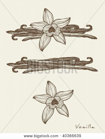 Vanilla beautiful flowers and beans, vector