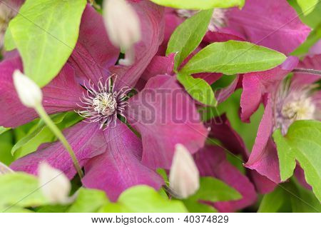 Beautiful Burgundy Clematis Flowers