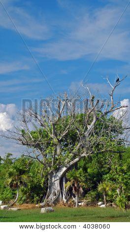 Ficus Tree In The Tropics