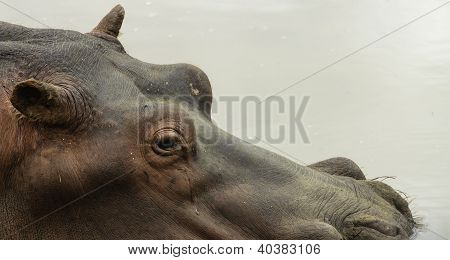 Hippo submerged in wa
