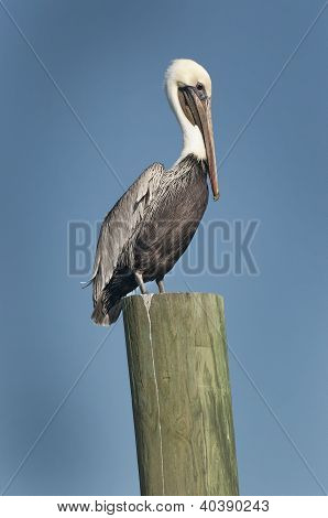 Pelican Perch