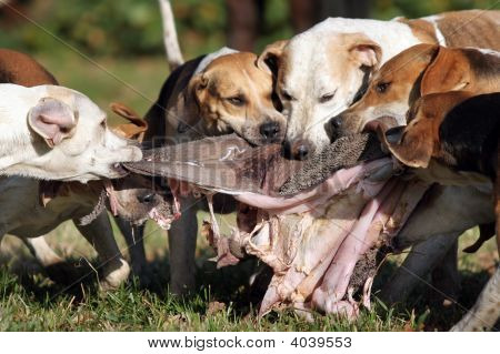 Foxhounds After Parforce Hunt Being Rewarded With Inwards