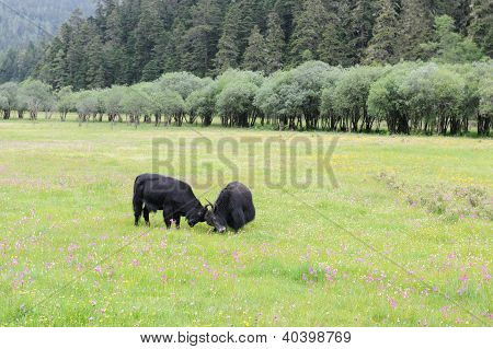 Two Yak Fighting On The Meadow