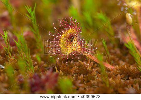 Sundew Among Moss
