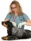 veterinary care - english cocker spaniel being microchipped by a veterinarian isolated on white back