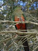 pic of king parrot  - female king parrot Alisterus scapularis in the wild in an australian bush setting - JPG