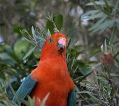 picture of king parrot  - a male king parrot keeps a careful watch as he searches for fresh seed pods - JPG