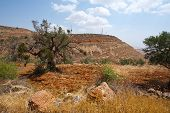 foto of samaria  - Olive Grove on the Slopes of the Mountains of Samaria Israel - JPG