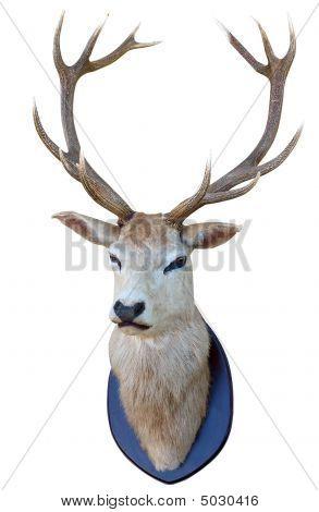 13 Point Deer Head