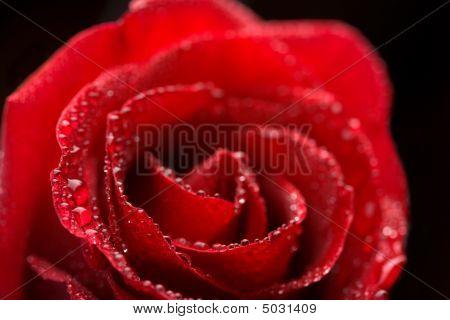 Belo Red Rose com gotículas de água (foco raso)