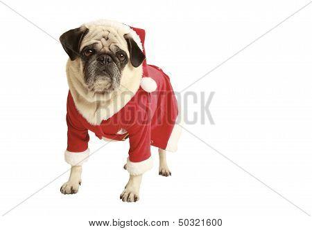 Pug In Santa Costume Standing