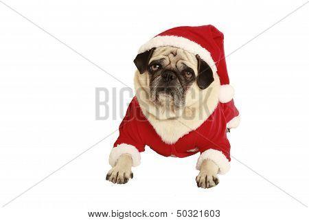 Pug In Santa Claus Costume Lying