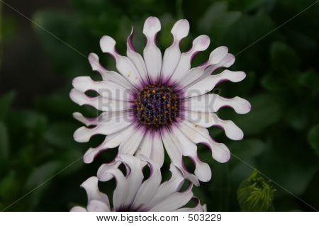 South African Daisy