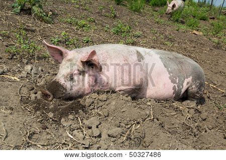 Big Pig On The Farm