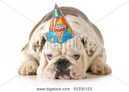 sad birthday dog - english bulldog wearing birthday hat isolated on white background