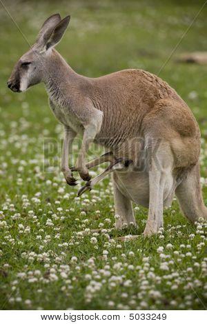 Mutter Kangaroo mit den Füßen von einem Joey heraus ihre Beutel