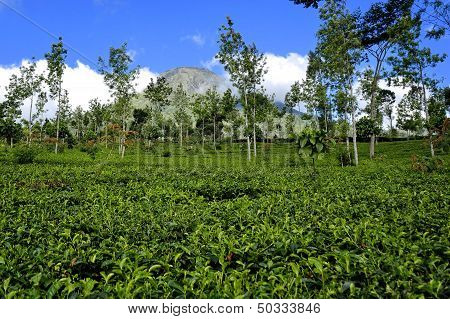 Tea Plantation in Java - Indonesia