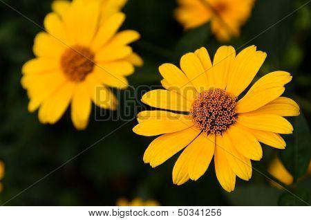 Large Yellow Buds Pyrethrum Anacyclus
