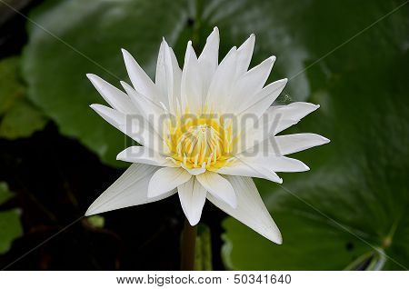 lotus or water lily
