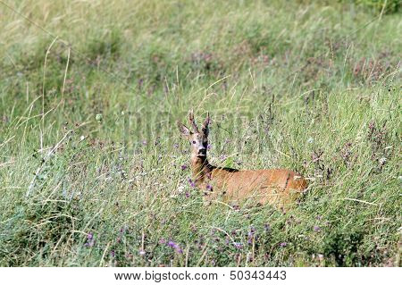 Adult Roebuck