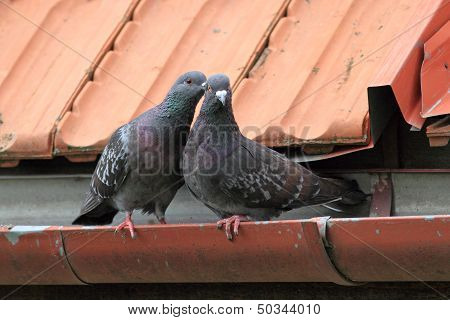 Pigeons Being Affective