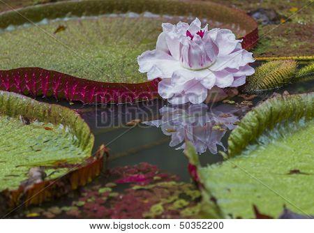 Victoria Amazonica flower