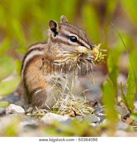 Least Chipmunk Tamias Minimus Foraging Dandelions