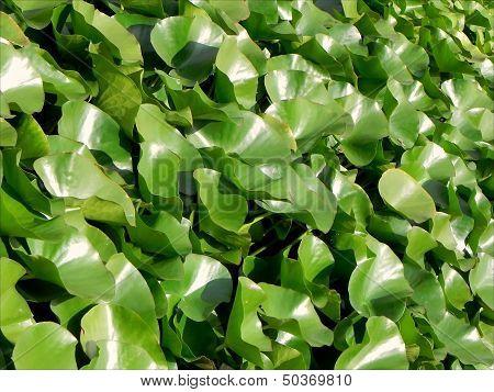 Lotus flower leafs