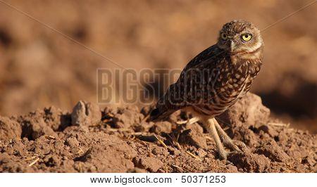 Burrowing Owl Looking Back
