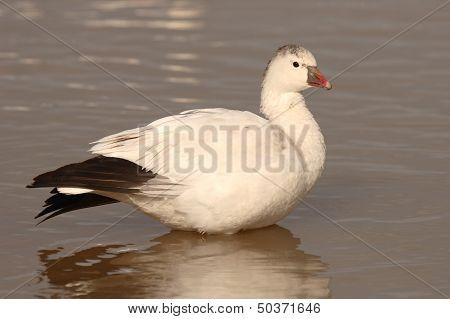 Ross's Goose Portrait