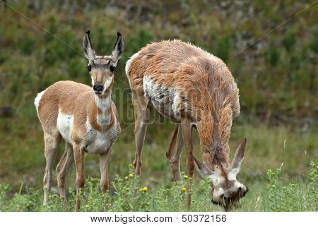 Pronghorn Antelopes Feeding