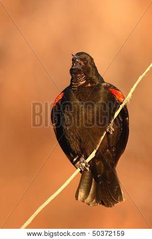 Blackbird Calling
