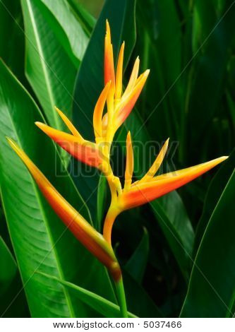 Tropical Flower Heliconia