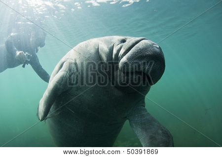 Manatee Goodbye