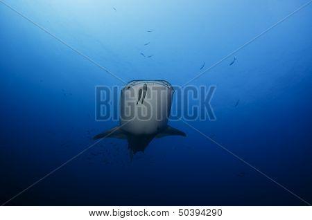 Whale Shark Down Deep