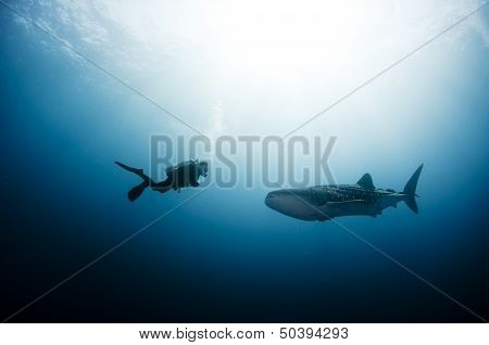 Scuba Diver and Whale Shark