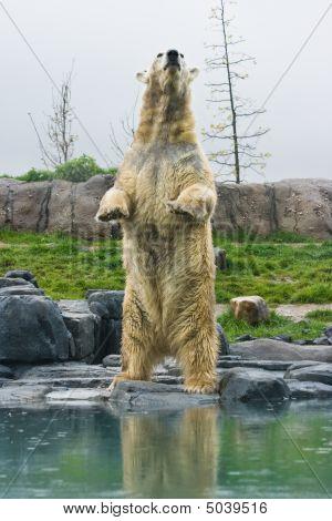 Polar Bear Standing Upright