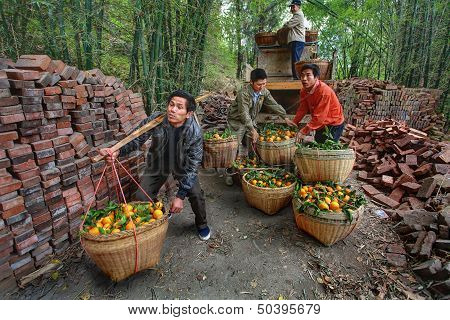 Chinese Unload Truck Of Oranges That Are In Wicker Baskets.