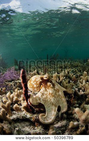 Vertical Octopus