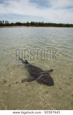 Nurse shark in shallow water