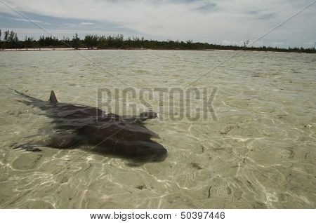 Nurse shark in very shallow water off Eleuthera