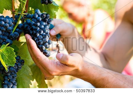 Winemaker man picking grapes at harvest time in the sunshinee