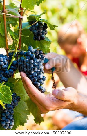 Winemaker man picking grapes at harvest time in the sunshine