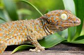 stock photo of tokay gecko  - Tokay Gecko close up of animal at daylight - JPG