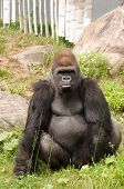 Large Gorilla Looking Straight