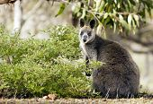 picture of wallabies  - Wild Australian native Wallaby in the Grampians region of Victoria - JPG