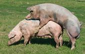 stock photo of animals sex reproduction  - White pigs mating on grass on farm - JPG
