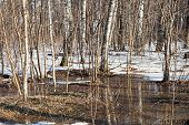 Постер, плакат: Snow Melting In Birch Forest