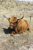 image of highland-cattle  - Cattle scottish Highlanders in  Zuid Kennemerland Netherlands - JPG