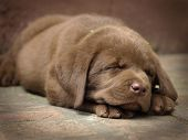 stock photo of chocolate lab  - Sleeping chocolate lab puppy - JPG